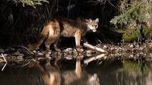 Cougar show
