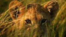 Okvango's Lions show
