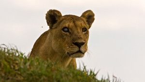 Okvango's Lions photo