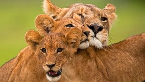 Okvango's Lions photo