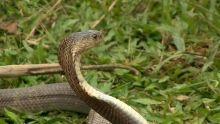Vietnam's Snakes show