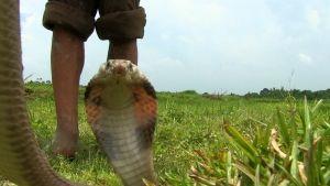 Vietnam's Snakes photo