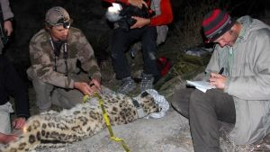 Elusive Leopards photo