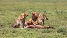 Cheetah Photos show