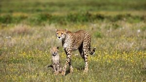 Cheetah Photos photo