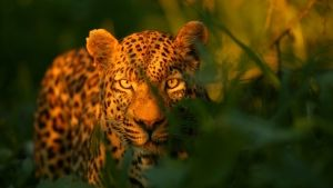 A Leopard Story photo