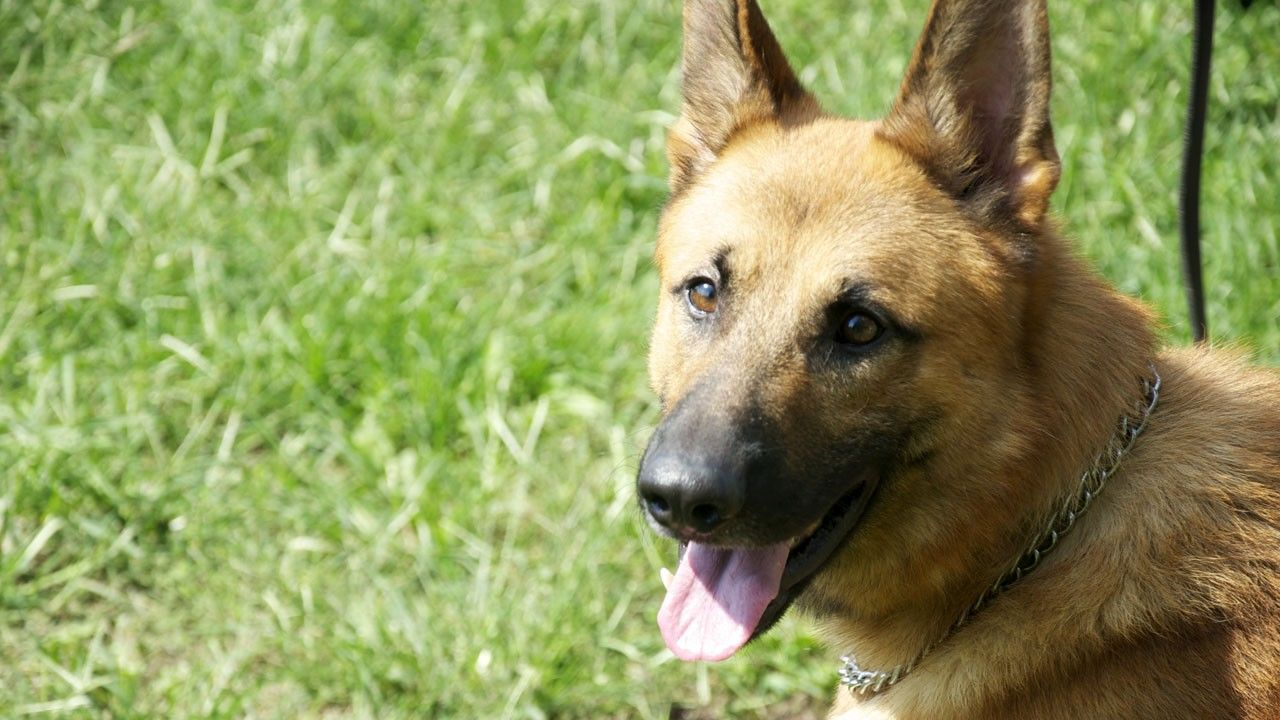 Imagini Câini la datorie - Agent canin - National Geographic Channel - România