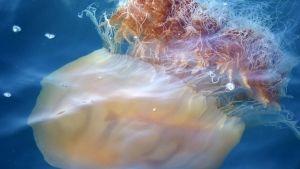 Swarms of Jellyfish photo