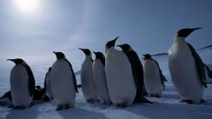 Emperor Penguins photo
