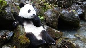 Panda in azione foto