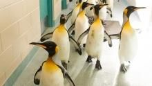 Penguins Marching show