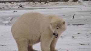 الدب المترحل صورة