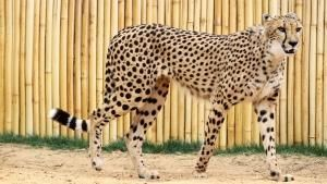 Cheetah Challenge photo