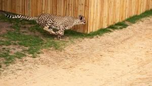 Cheetah Challenge photo