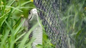 Deadly Snake photo