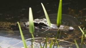 Everglades Residents photo