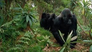 Baby Apes photo