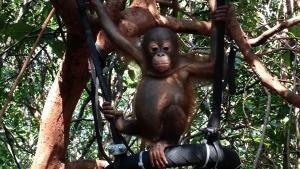 Piccoli oranghi crescono foto