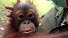 Baby Orangutans show