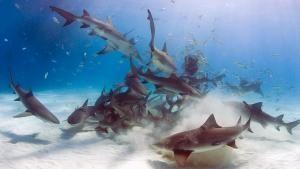 Sharks on the Hunt photo