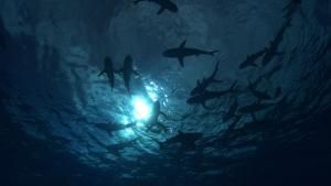 Sharks on the Hunt photo