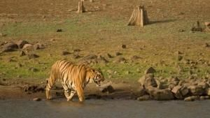 Tiger Jungles photo