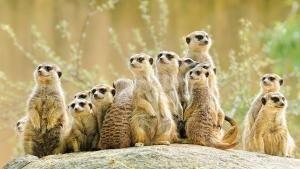 Leoni & suricati foto