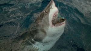 Shark Attack photo