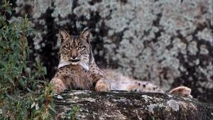 The Iberian Lynx photo