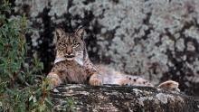 The Iberian Lynx show