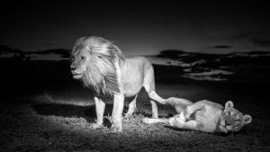 Il re della savana foto