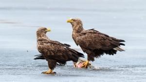 Majestic Eagles photo