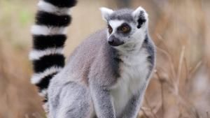 Ring-tailed Guys photo
