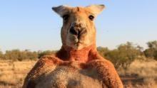 Kangaroo Portraits show