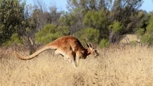 Kangaroo Portraits photo