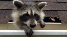 Raccoon: Backyard Bandit show