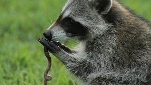 Raccoon: Backyard Bandit photo