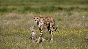 Cheetah : Fatal Instinct photo