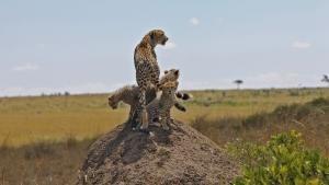 الفهد الغريزة القاتلة صورة