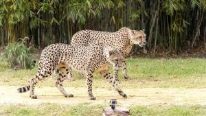 Feline Competitors 照片