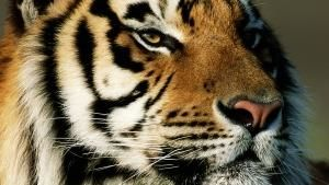 Majestic Tiger 照片