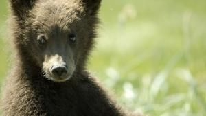 The Little Brown Bear photo