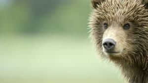 The Little Brown Bear photo