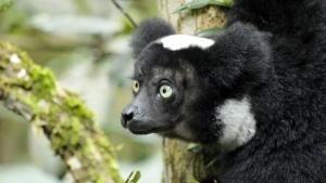 The Lemurs photo