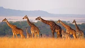 السافانا الإفريقية صورة