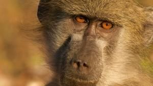The Baboons photo