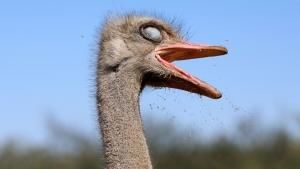 The Ostriches of Namibia photo