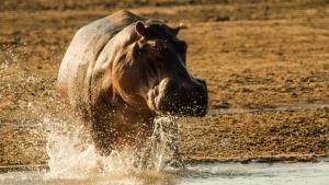 Majestic Hippo photo