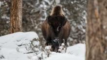 Wild Yellowstone show