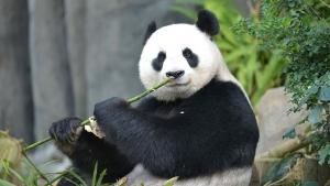 Adorable Giant Pandas photo